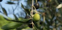 Ölbäume werden in der Bibel und im Koran erwähnt.© by Michael Wunderli auf Flickr (CC BY 2.0), bearbeitet iQ.