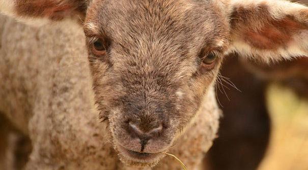 Flandern verbietet das Schächten von Tieren